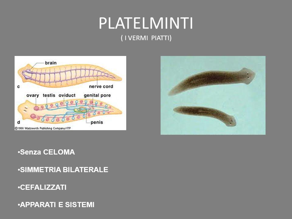 PLATELMINTI ( I VERMI PIATTI) Senza CELOMA SIMMETRIA BILATERALE CEFALIZZATI APPARATI E SISTEMI