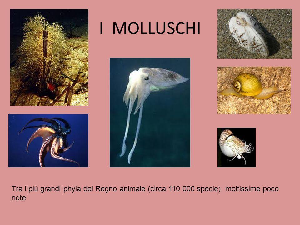 I MOLLUSCHI Tra i più grandi phyla del Regno animale (circa 110 000 specie), moltissime poco note