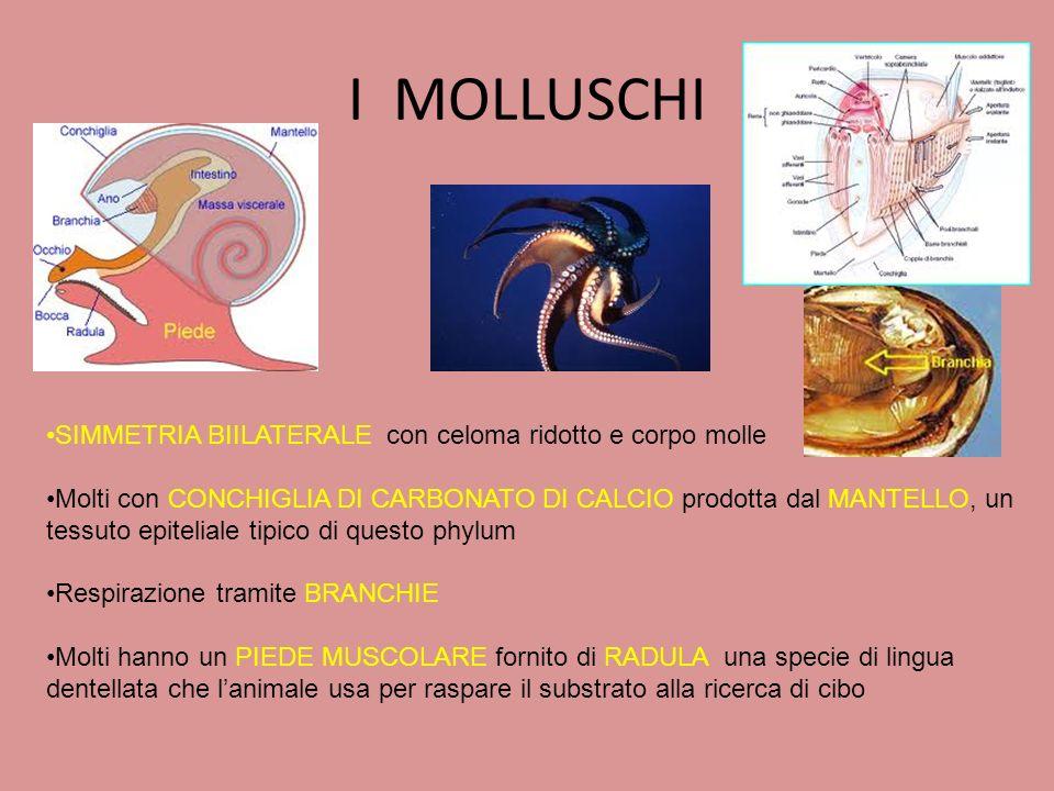 I MOLLUSCHI SIMMETRIA BIILATERALE con celoma ridotto e corpo molle Molti con CONCHIGLIA DI CARBONATO DI CALCIO prodotta dal MANTELLO, un tessuto epite
