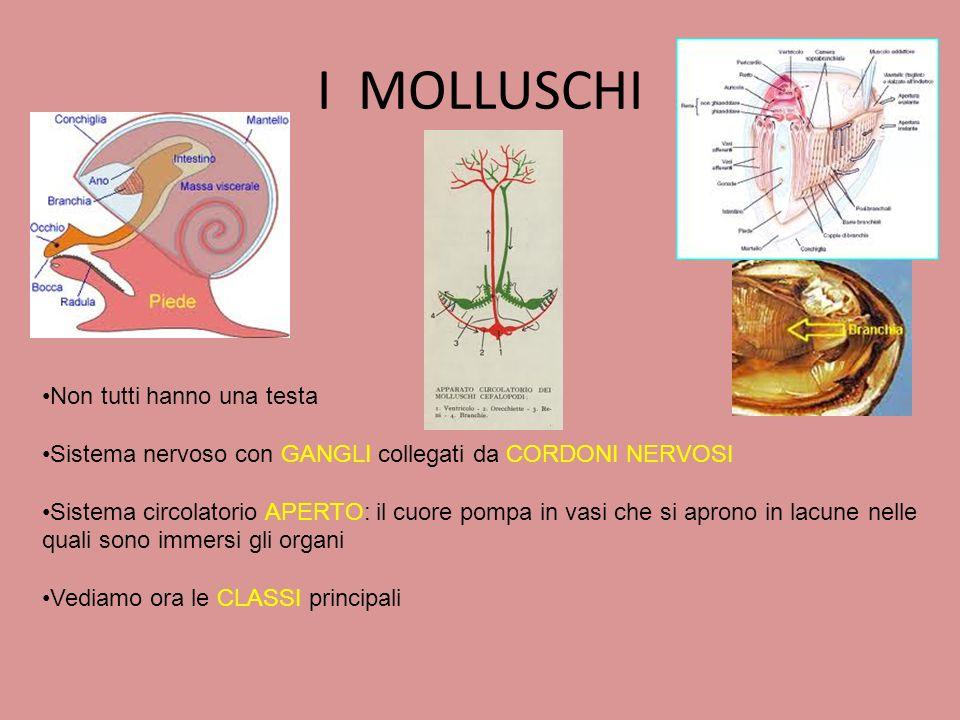 I MOLLUSCHI Non tutti hanno una testa Sistema nervoso con GANGLI collegati da CORDONI NERVOSI Sistema circolatorio APERTO: il cuore pompa in vasi che