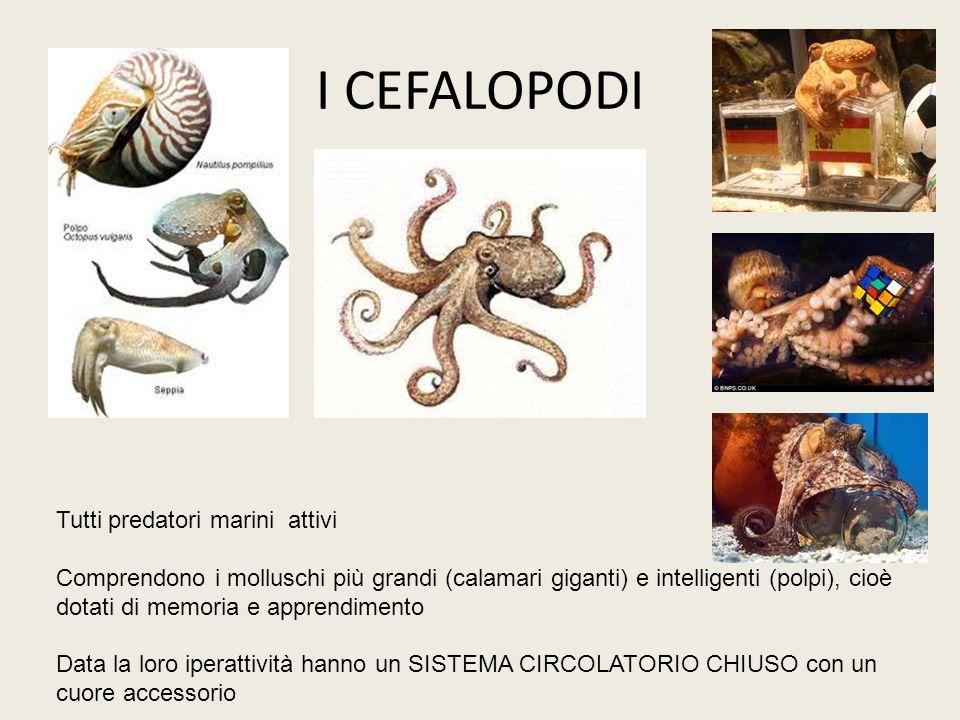 I CEFALOPODI Tutti predatori marini attivi Comprendono i molluschi più grandi (calamari giganti) e intelligenti (polpi), cioè dotati di memoria e appr