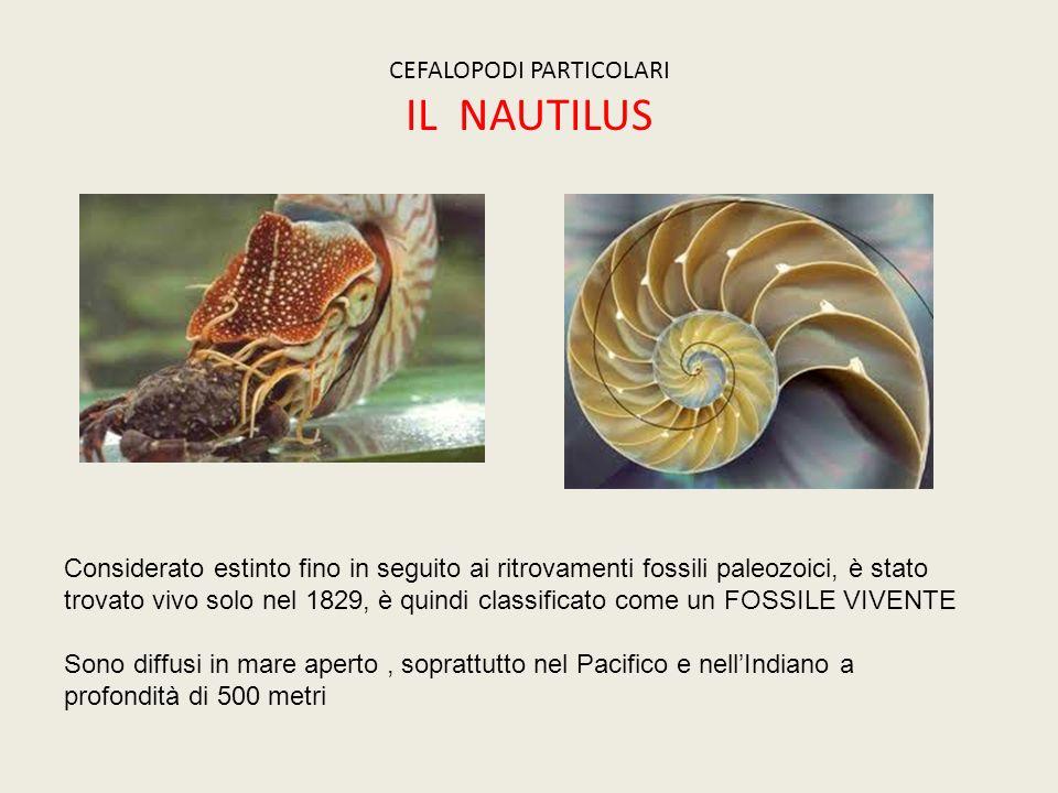 CEFALOPODI PARTICOLARI IL NAUTILUS Considerato estinto fino in seguito ai ritrovamenti fossili paleozoici, è stato trovato vivo solo nel 1829, è quind