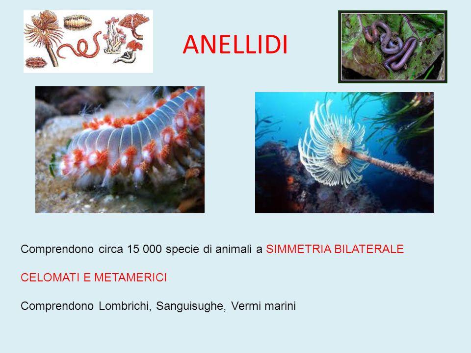 ANELLIDI Comprendono circa 15 000 specie di animali a SIMMETRIA BILATERALE CELOMATI E METAMERICI Comprendono Lombrichi, Sanguisughe, Vermi marini