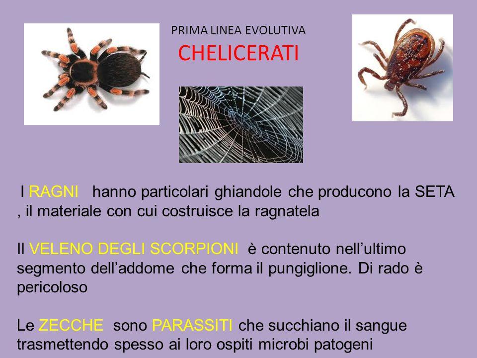 PRIMA LINEA EVOLUTIVA CHELICERATI I RAGNI hanno particolari ghiandole che producono la SETA, il materiale con cui costruisce la ragnatela Il VELENO DE