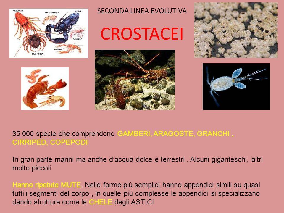 SECONDA LINEA EVOLUTIVA CROSTACEI 35 000 specie che comprendono GAMBERI, ARAGOSTE, GRANCHI, CIRRIPED, COPEPODI In gran parte marini ma anche dacqua do