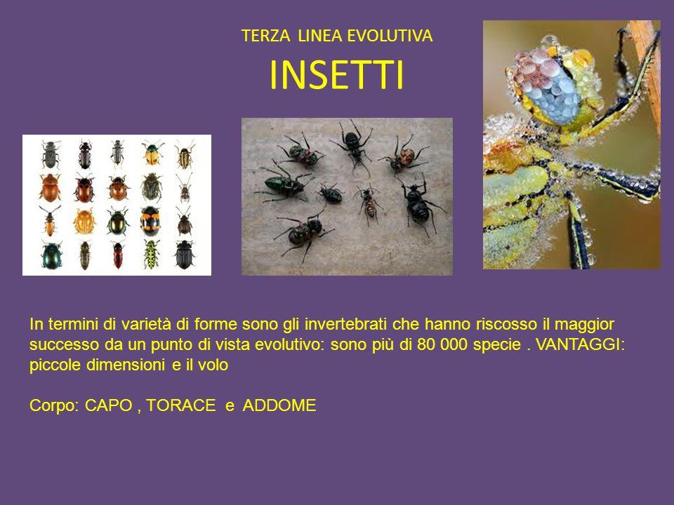 TERZA LINEA EVOLUTIVA INSETTI In termini di varietà di forme sono gli invertebrati che hanno riscosso il maggior successo da un punto di vista evoluti