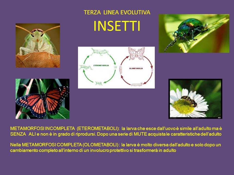 TERZA LINEA EVOLUTIVA INSETTI METAMORFOSI INCOMPLETA (ETEROMETABOLI): la larva che esce dalluovo è simile alladulto ma è SENZA ALI e non è in grado di
