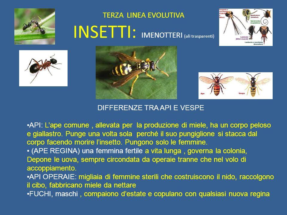TERZA LINEA EVOLUTIVA INSETTI: IMENOTTERI (ali trasparenti) DIFFERENZE TRA API E VESPE API: Lape comune, allevata per la produzione di miele, ha un co