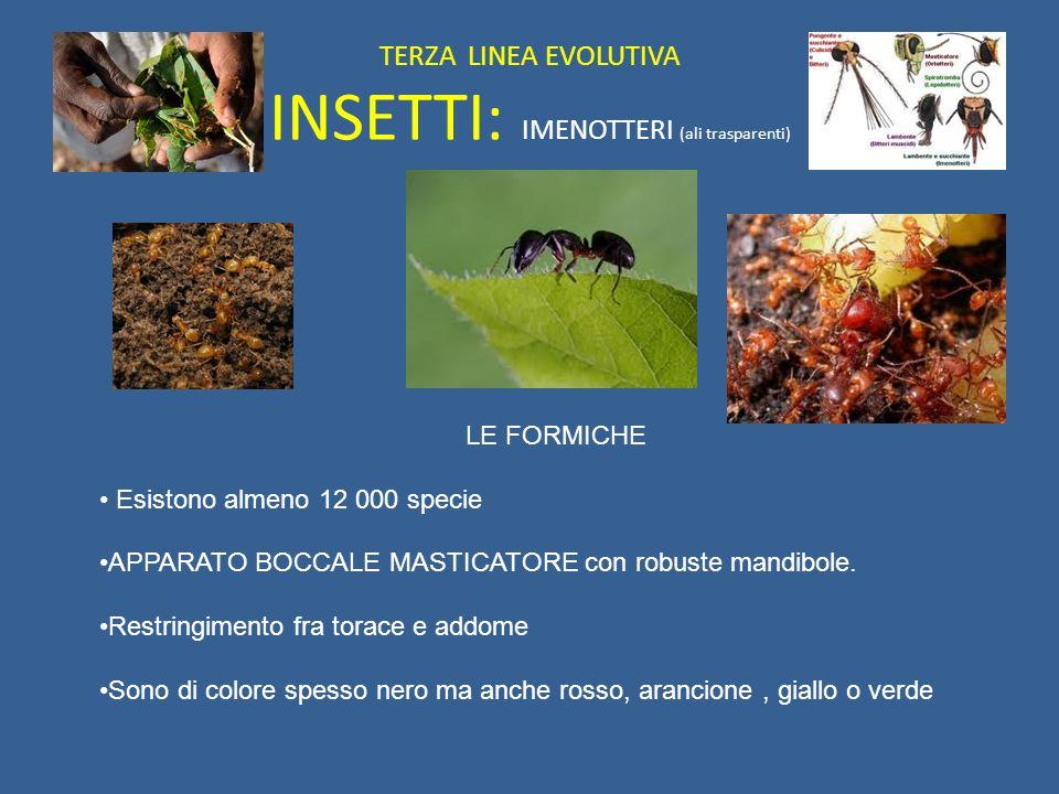 TERZA LINEA EVOLUTIVA INSETTI: IMENOTTERI (ali trasparenti) LE FORMICHE Esistono almeno 12 000 specie APPARATO BOCCALE MASTICATORE con robuste mandibo