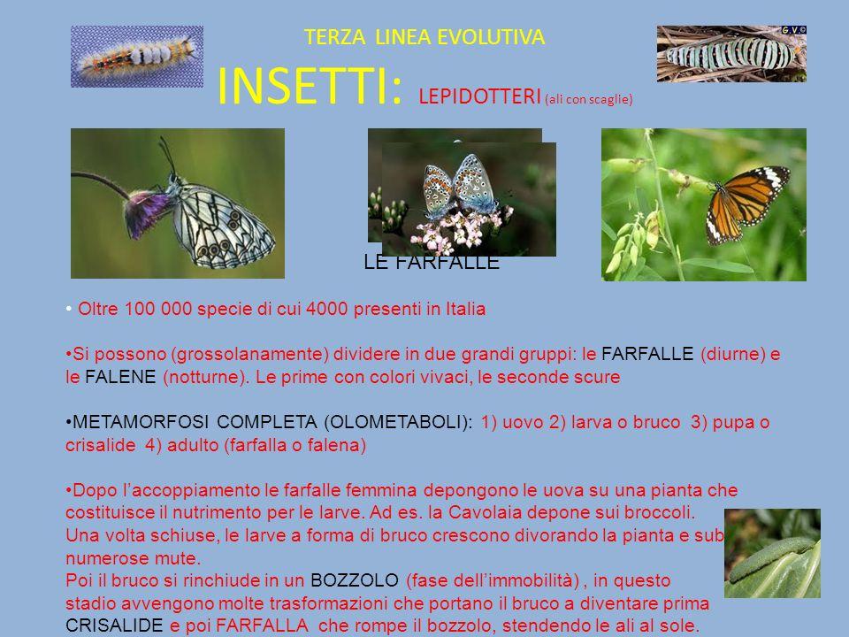 TERZA LINEA EVOLUTIVA INSETTI: LEPIDOTTERI (ali con scaglie) LE FARFALLE Oltre 100 000 specie di cui 4000 presenti in Italia Si possono (grossolanamen