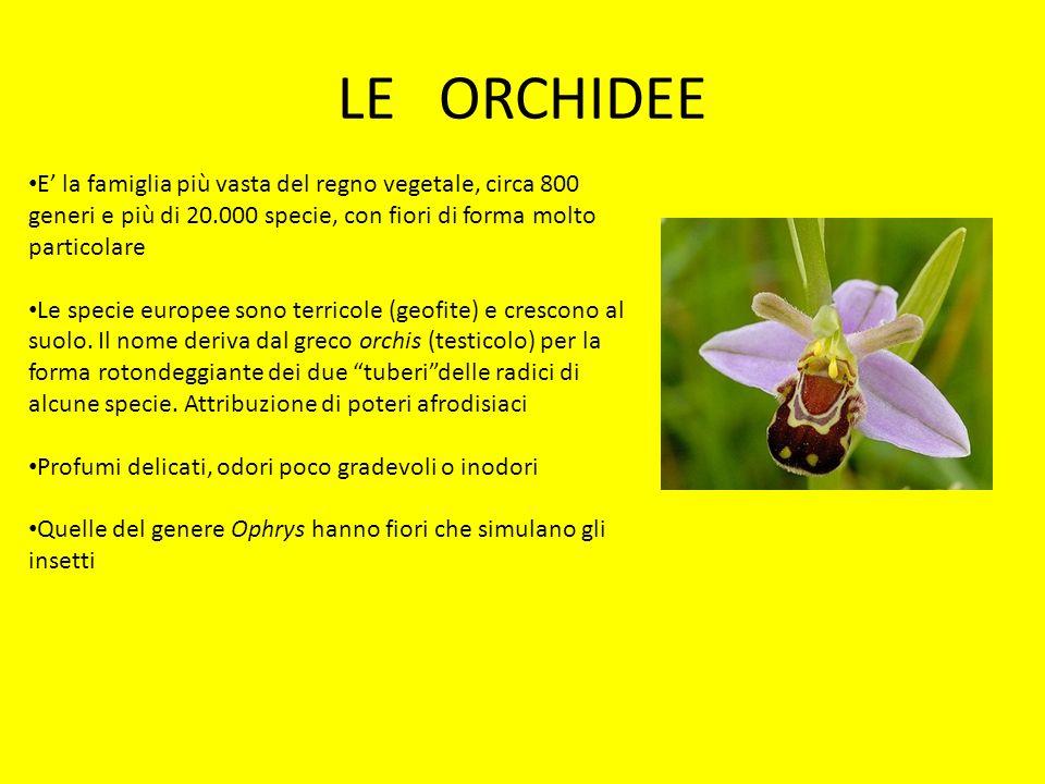 LE ORCHIDEE E la famiglia più vasta del regno vegetale, circa 800 generi e più di 20.000 specie, con fiori di forma molto particolare Le specie europe