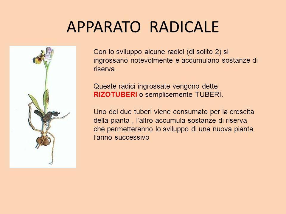 APPARATO RADICALE Con lo sviluppo alcune radici (di solito 2) si ingrossano notevolmente e accumulano sostanze di riserva. Queste radici ingrossate ve