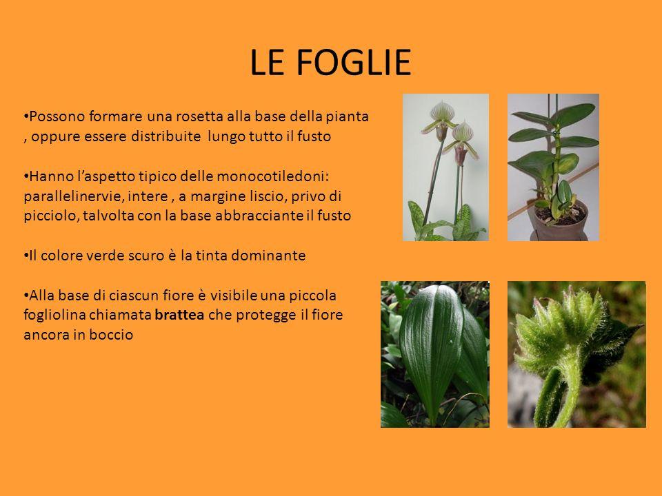 LE FOGLIE Possono formare una rosetta alla base della pianta, oppure essere distribuite lungo tutto il fusto Hanno laspetto tipico delle monocotiledon