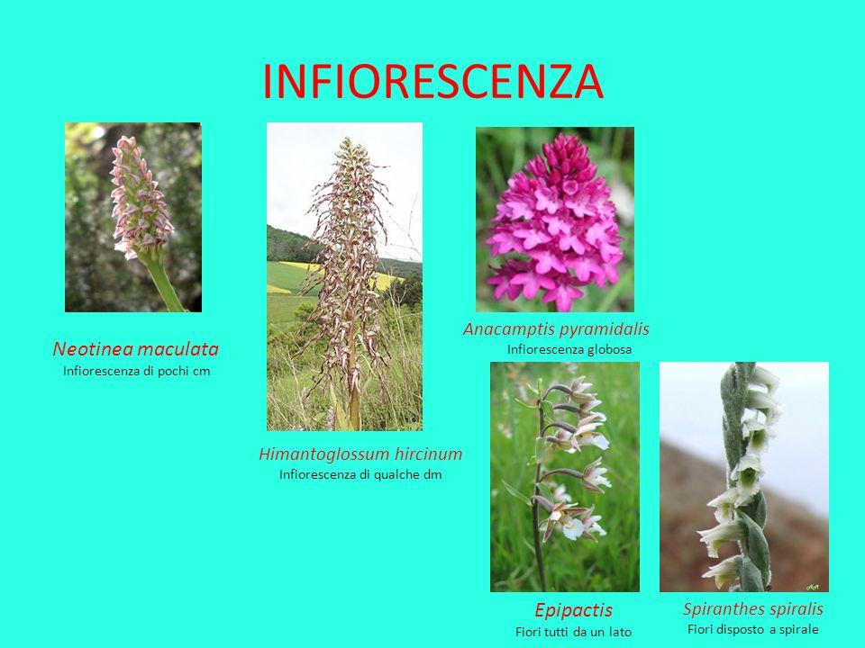INFIORESCENZA Neotinea maculata Infiorescenza di pochi cm Himantoglossum hircinum Infiorescenza di qualche dm Anacamptis pyramidalis Infiorescenza glo