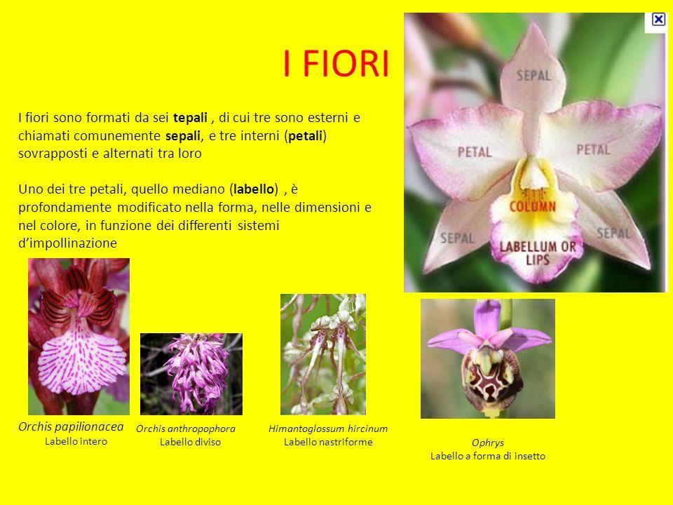 I FIORI I fiori sono formati da sei tepali, di cui tre sono esterni e chiamati comunemente sepali, e tre interni (petali) sovrapposti e alternati tra