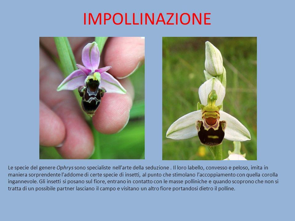 IMPOLLINAZIONE Le specie del genere Ophrys sono specialiste nellarte della seduzione. Il loro labello, convesso e peloso, imita in maniera sorprendent