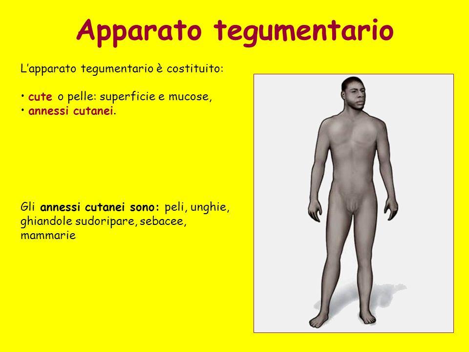 Apparato tegumentario Lapparato tegumentario è costituito: cute o pelle: superficie e mucose, annessi cutanei.