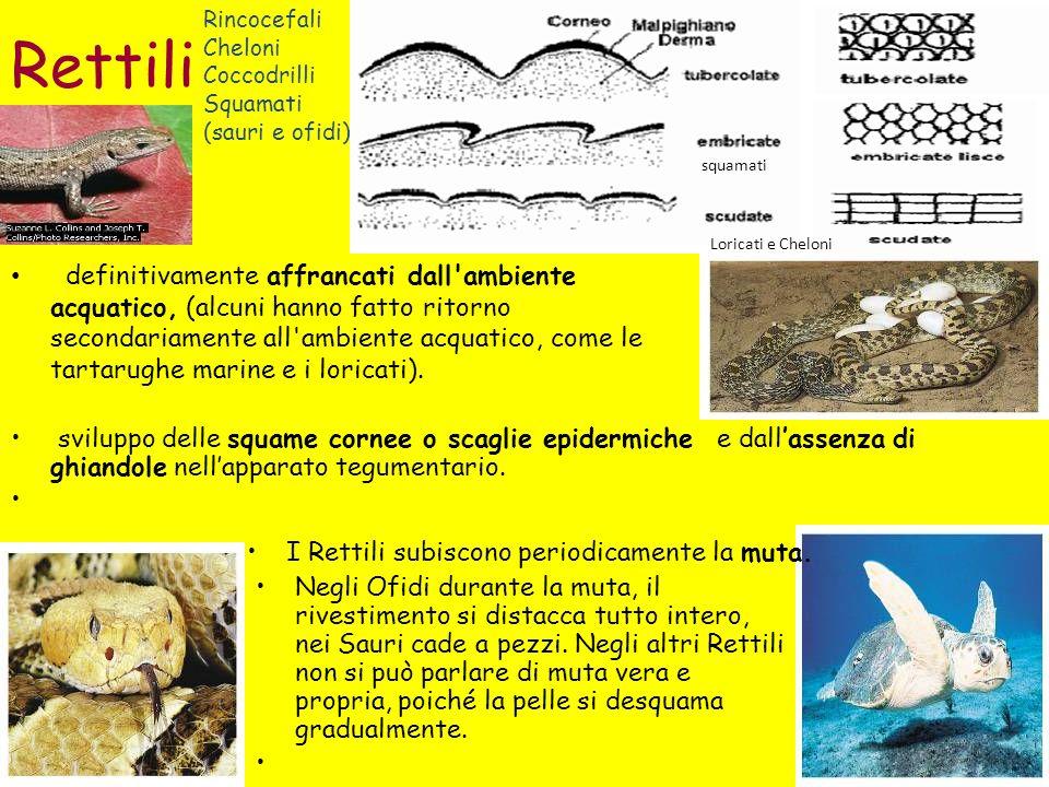 Rettili definitivamente affrancati dall ambiente acquatico, (alcuni hanno fatto ritorno secondariamente all ambiente acquatico, come le tartarughe marine e i loricati).