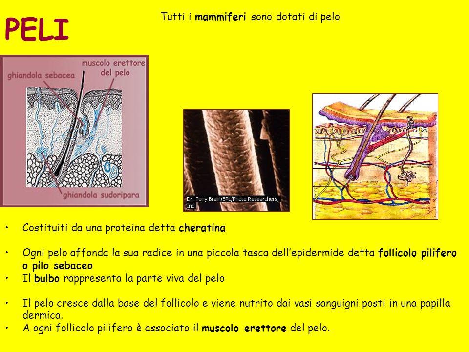 Nei Pesci la cute contribuisce a regolare gli scambi osmotici tra organismo e ambiente ed è caratterizzata da cellule metabolicamente attive secernenti muco e altre sostanze e da cheratinociti.
