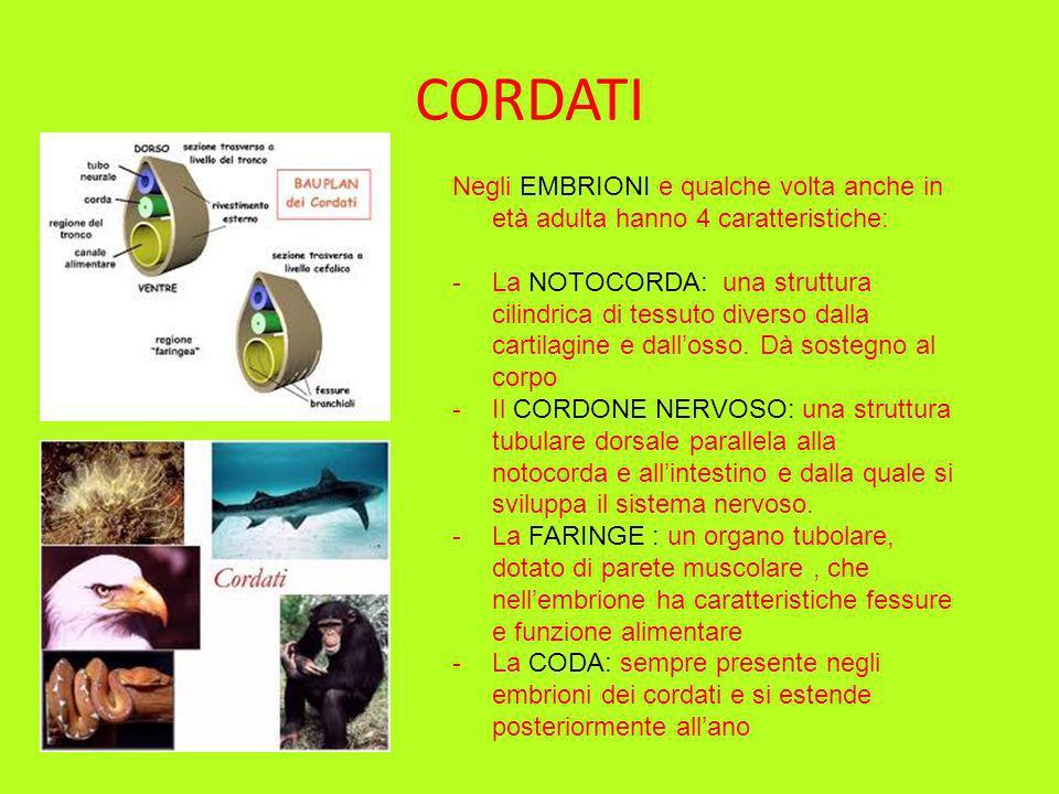 CORDATI Negli EMBRIONI e qualche volta anche in età adulta hanno 4 caratteristiche: -La NOTOCORDA: una struttura cilindrica di tessuto diverso dalla c