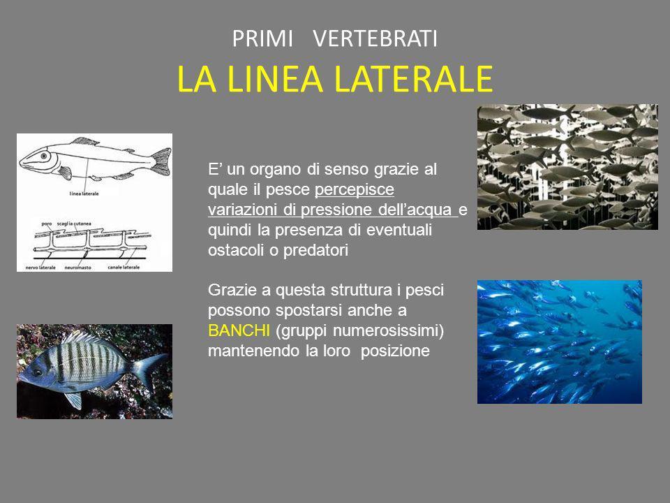 PRIMI VERTEBRATI LA LINEA LATERALE E un organo di senso grazie al quale il pesce percepisce variazioni di pressione dellacqua e quindi la presenza di