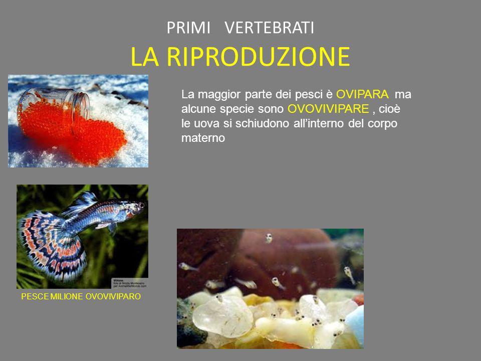 PRIMI VERTEBRATI LA RIPRODUZIONE PESCE MILIONE OVOVIVIPARO La maggior parte dei pesci è OVIPARA ma alcune specie sono OVOVIVIPARE, cioè le uova si sch