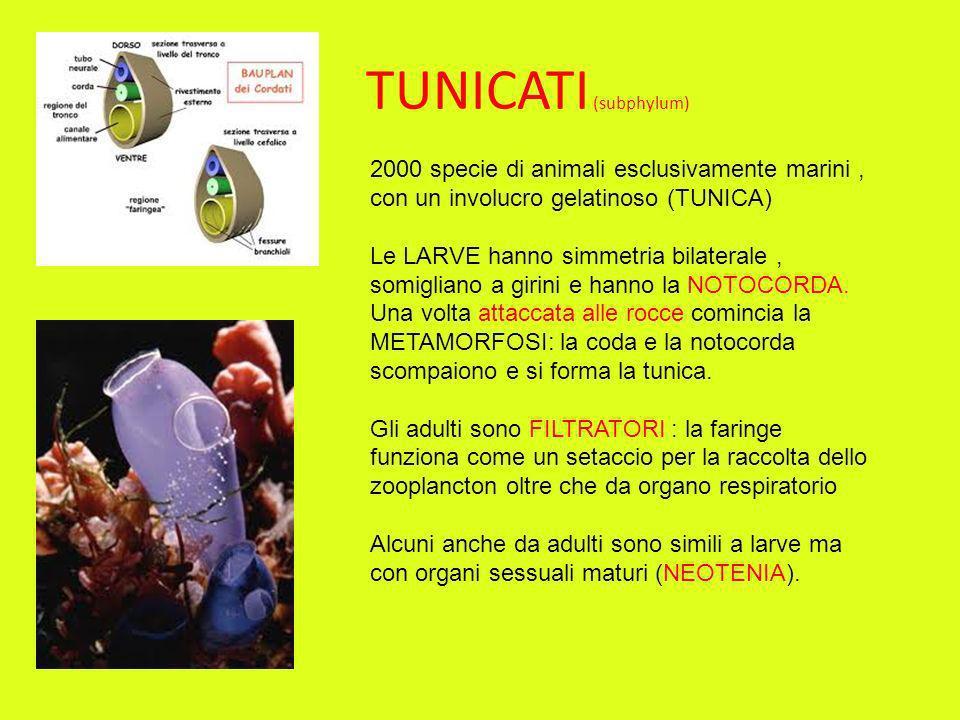 TUNICATI (subphylum) 2000 specie di animali esclusivamente marini, con un involucro gelatinoso (TUNICA) Le LARVE hanno simmetria bilaterale, somiglian