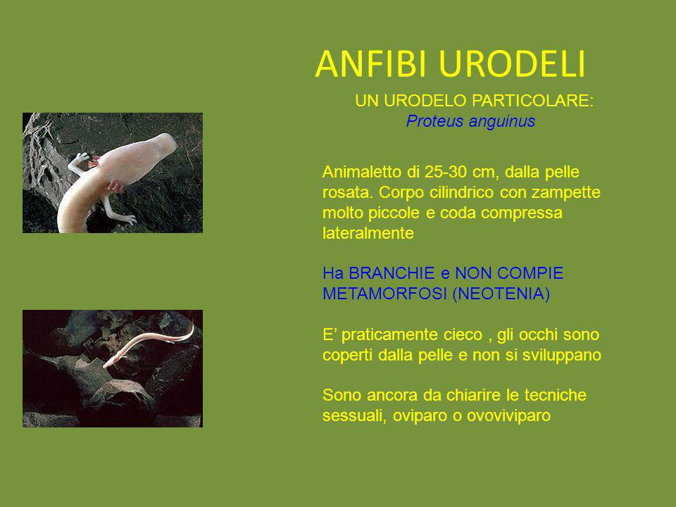 ANFIBI URODELI UN URODELO PARTICOLARE: Proteus anguinus Animaletto di 25-30 cm, dalla pelle rosata. Corpo cilindrico con zampette molto piccole e coda
