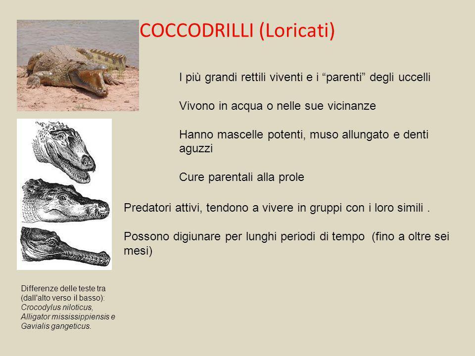 COCCODRILLI (Loricati) I più grandi rettili viventi e i parenti degli uccelli Vivono in acqua o nelle sue vicinanze Hanno mascelle potenti, muso allun