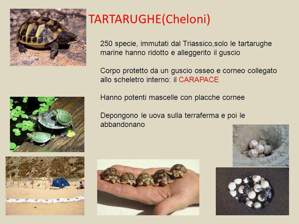 TARTARUGHE(Cheloni) 250 specie, immutati dal Triassico,solo le tartarughe marine hanno ridotto e alleggerito il guscio Corpo protetto da un guscio oss