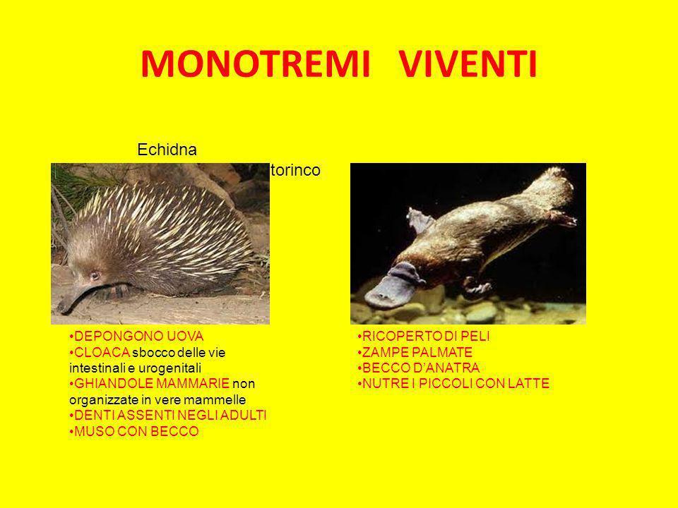 MONOTREMI VIVENTI Echidna Ornitorinco DEPONGONO UOVA CLOACA sbocco delle vie intestinali e urogenitali GHIANDOLE MAMMARIE non organizzate in vere mamm