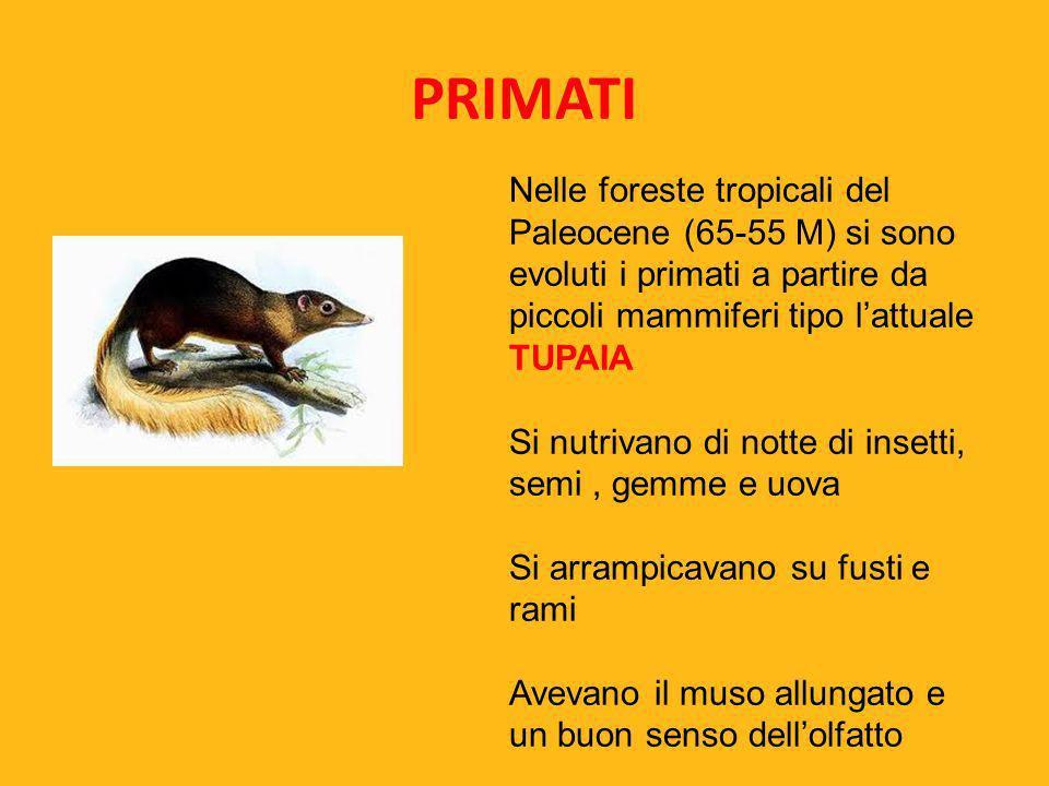 PRIMATI Nelle foreste tropicali del Paleocene (65-55 M) si sono evoluti i primati a partire da piccoli mammiferi tipo lattuale TUPAIA Si nutrivano di
