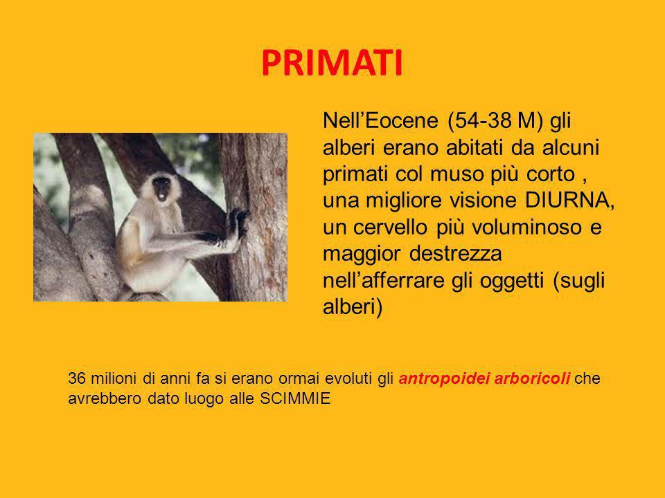 PRIMATI NellEocene (54-38 M) gli alberi erano abitati da alcuni primati col muso più corto, una migliore visione DIURNA, un cervello più voluminoso e