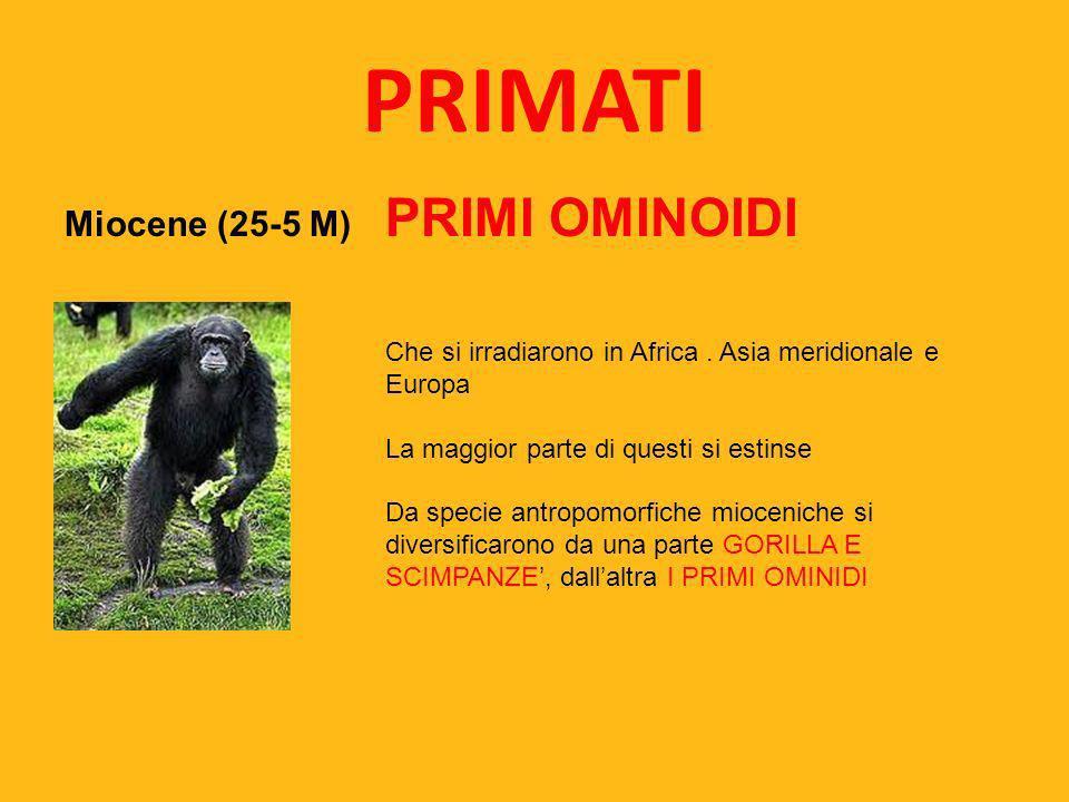 PRIMATI Miocene (25-5 M) PRIMI OMINOIDI Che si irradiarono in Africa. Asia meridionale e Europa La maggior parte di questi si estinse Da specie antrop