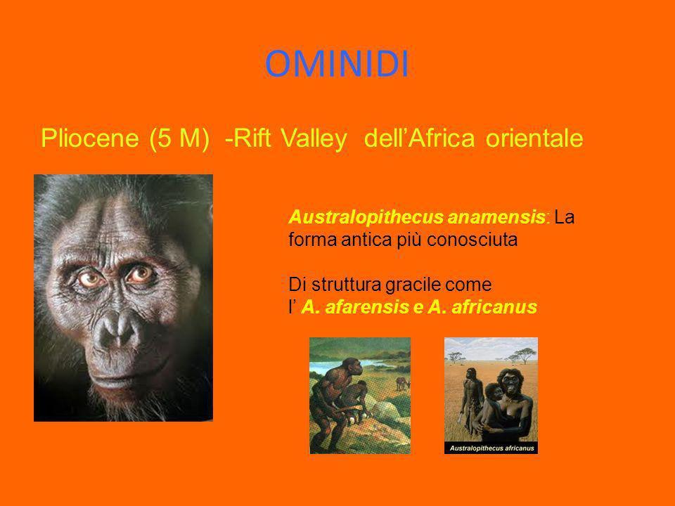 OMINIDI Pliocene (5 M) -Rift Valley dellAfrica orientale Australopithecus anamensis: La forma antica più conosciuta Di struttura gracile come l A. afa