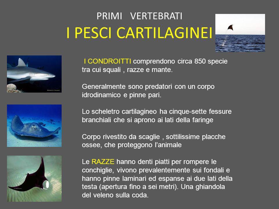 PRIMI VERTEBRATI I PESCI CARTILAGINEI I CONDROITTI comprendono circa 850 specie tra cui squali, razze e mante. Generalmente sono predatori con un corp
