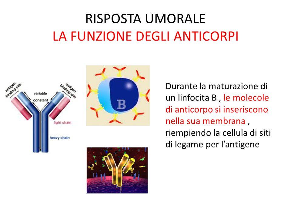 RISPOSTA UMORALE LA FUNZIONE DEGLI ANTICORPI Durante la maturazione di un linfocita B, le molecole di anticorpo si inseriscono nella sua membrana, rie
