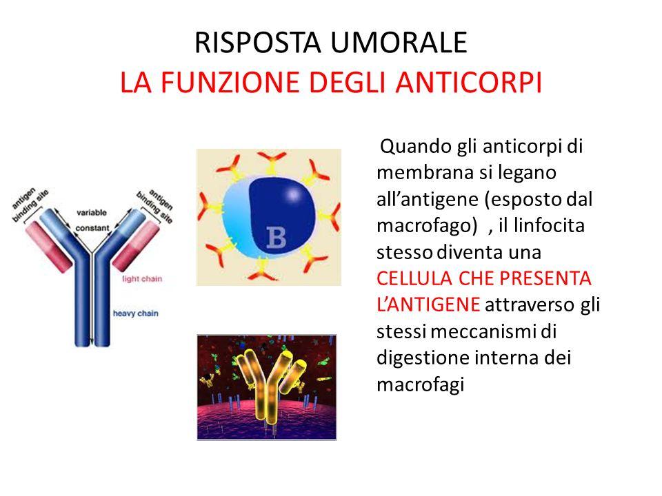 RISPOSTA UMORALE LA FUNZIONE DEGLI ANTICORPI Quando gli anticorpi di membrana si legano allantigene (esposto dal macrofago), il linfocita stesso diven