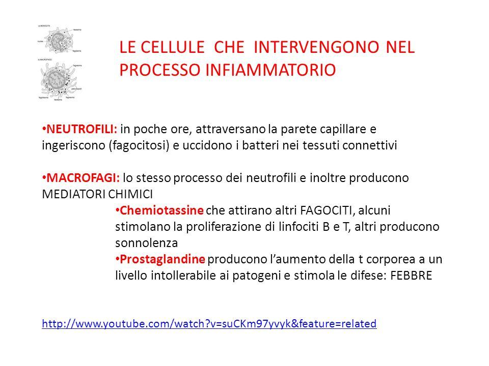 LE CELLULE CHE INTERVENGONO NEL PROCESSO INFIAMMATORIO NEUTROFILI: in poche ore, attraversano la parete capillare e ingeriscono (fagocitosi) e uccidon