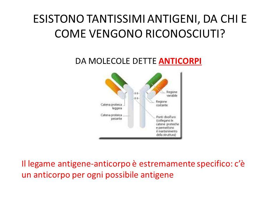 RISPOSTA UMORALE LA FUNZIONE DEGLI ANTICORPI Quando gli anticorpi di membrana si legano allantigene, il linfocita stesso diventa una CELLULA CHE PRESENTA LANTIGENE attraverso gli stessi meccanismi di digestione interna dei macrofagi