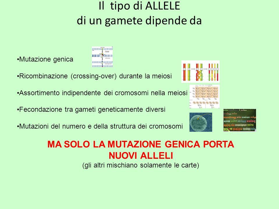 Il tipo di ALLELE di un gamete dipende da Mutazione genica Ricombinazione (crossing-over) durante la meiosi Assortimento indipendente dei cromosomi ne