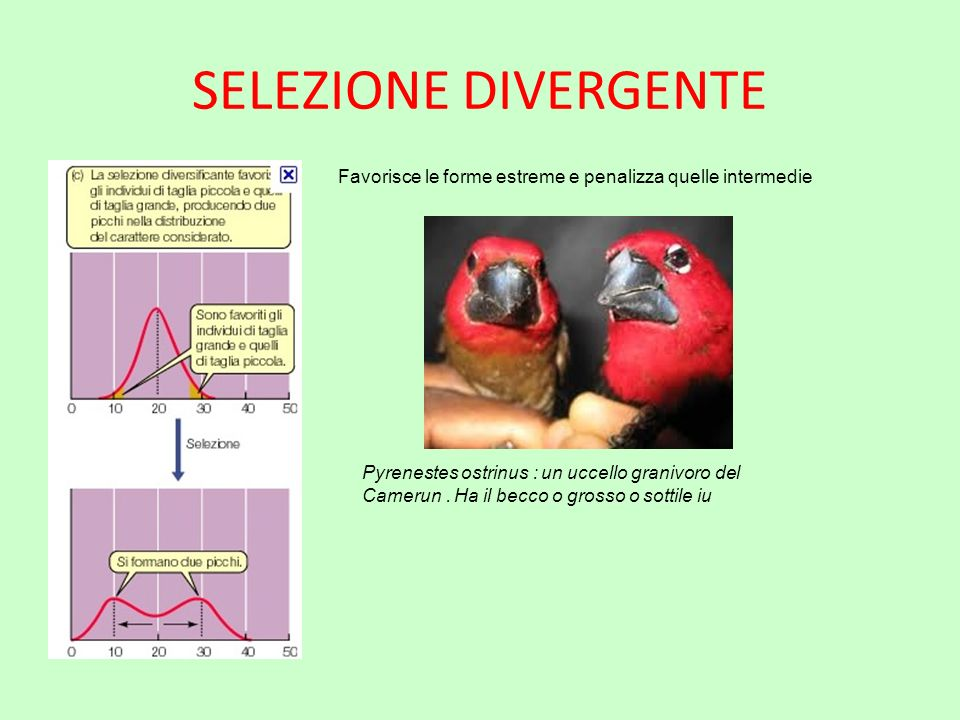SELEZIONE DIVERGENTE Favorisce le forme estreme e penalizza quelle intermedie Pyrenestes ostrinus : un uccello granivoro del Camerun. Ha il becco o gr