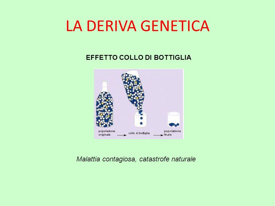 LA DERIVA GENETICA EFFETTO COLLO DI BOTTIGLIA Malattia contagiosa, catastrofe naturale
