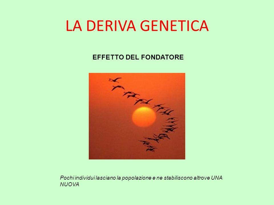 LA DERIVA GENETICA EFFETTO DEL FONDATORE Pochi individui lasciano la popolazione e ne stabiliscono altrove UNA NUOVA