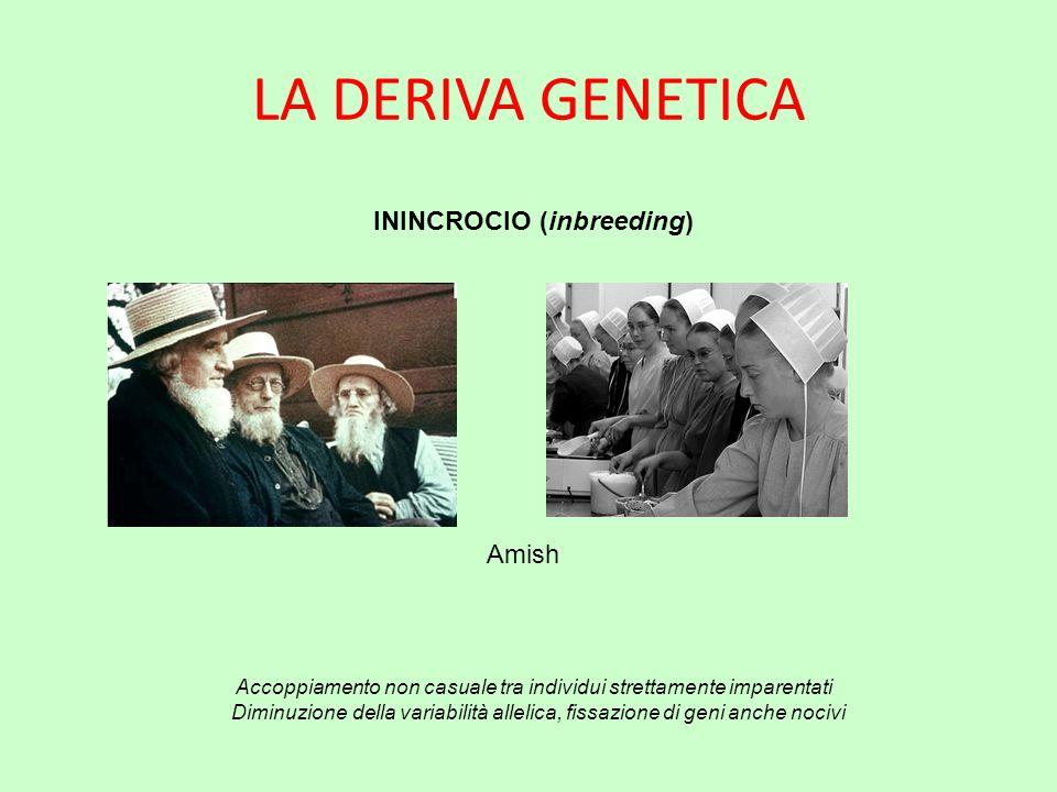 LA DERIVA GENETICA ININCROCIO (inbreeding) Accoppiamento non casuale tra individui strettamente imparentati Diminuzione della variabilità allelica, fi