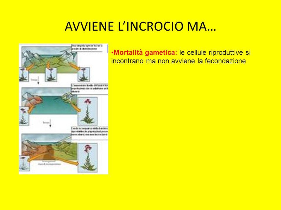 AVVIENE LINCROCIO MA… Mortalità gametica: le cellule riproduttive si incontrano ma non avviene la fecondazione