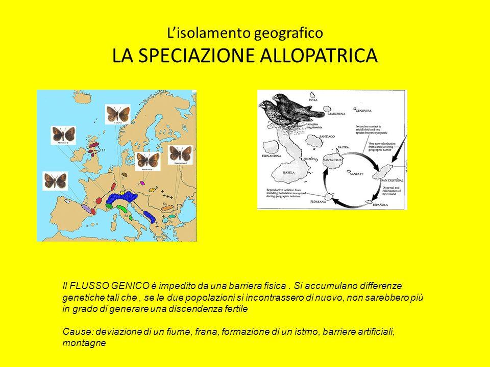 Lisolamento geografico LA SPECIAZIONE ALLOPATRICA Il FLUSSO GENICO è impedito da una barriera fisica. Si accumulano differenze genetiche tali che, se