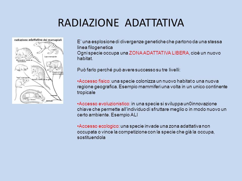 RADIAZIONE ADATTATIVA E una esplosione di divergenze genetiche che partono da una stessa linea filogenetica Ogni specie occupa una ZONA ADATTATIVA LIB