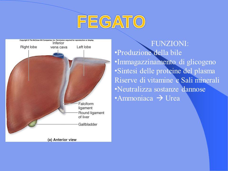 FUNZIONI: Produzione della bile Immagazzinamento di glicogeno Sintesi delle proteine del plasma Riserve di vitamine e Sali minerali Neutralizza sostan