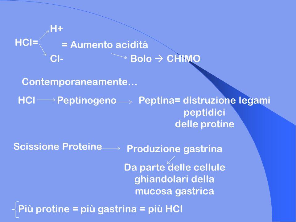 HCl= H+ Cl- = Aumento acidità Bolo CHIMO Contemporaneamente… HClPeptinogenoPeptina= distruzione legami peptidici delle protine Scissione Proteine Prod